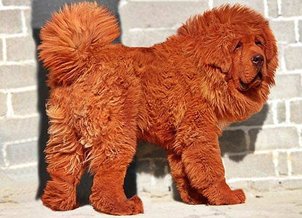 Contrafagot - Dogo del Tíbet