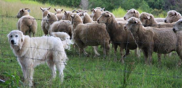 Director 1 - Perro de pastoreo