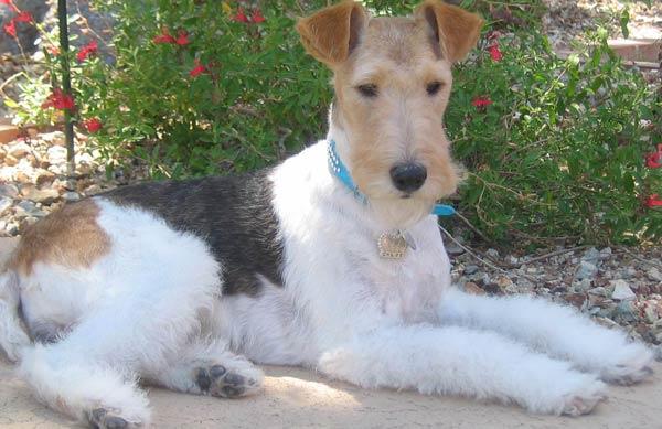 Oboe - Fox terrier