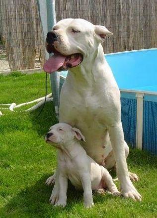 Tenor - Dogo argentino